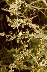 Asparago di montagna Pozzovetere
